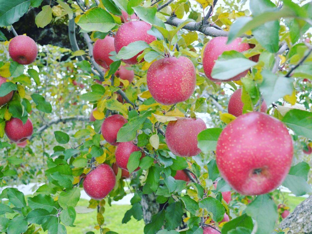 りんご狩りの季節の話